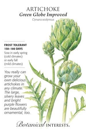 Seed Artichoke Green Globe Improved - Cynara scolymus