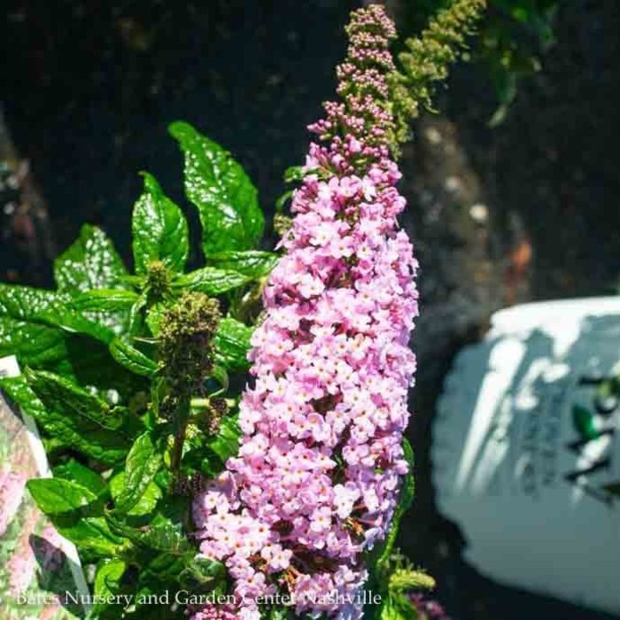 #3 Buddleia Pugster Pink/Dwarf Butterfly Bush