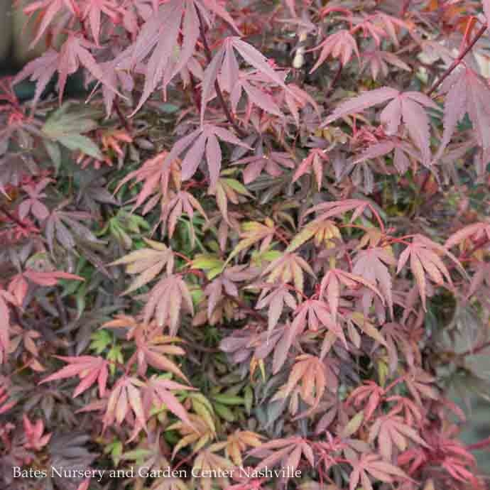 #2 Acer pal Shaina/Japanese Maple Dwarf Red Upright