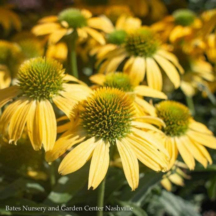 #1 Echinacea Evolution Embers Sparks/Yellow Coneflower