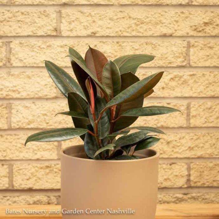 6p! Ficus E Burgundy Bush /RubberTree /Tropical