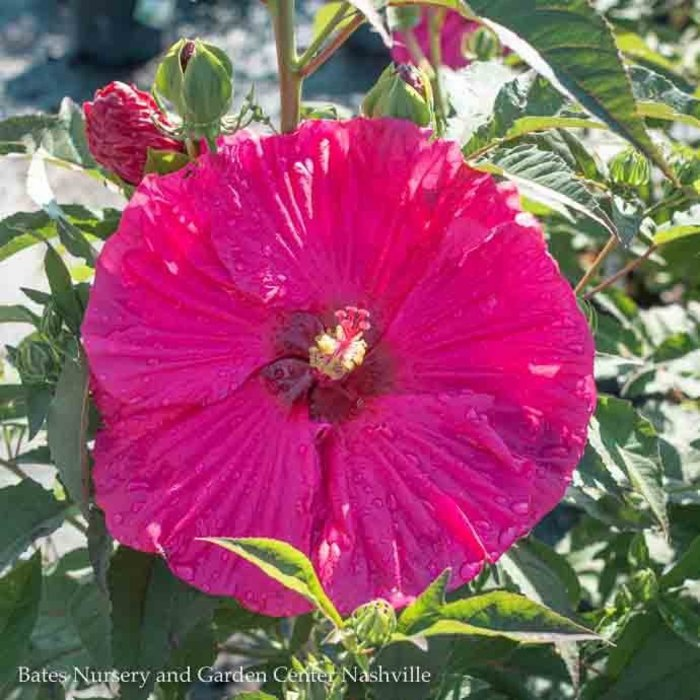 #3 Hibiscus Summer in Paradise/Hardy Pink