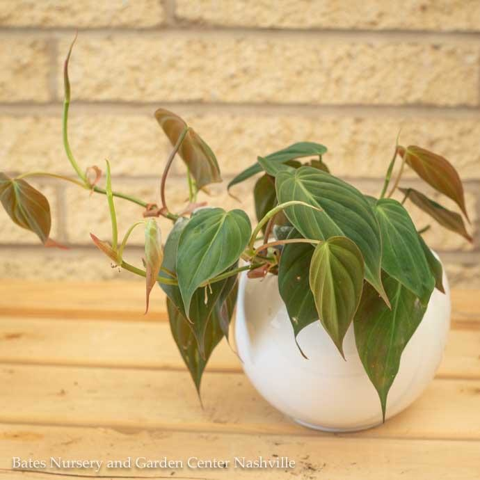 4p! Philodendron Mican /Tropical