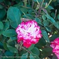 #2 Rosa Grace N' Grit Pink and White BiColor/Shrub Rose NO WARRANTY