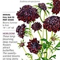 Seed Scabiosa Black Knight Heirloom - Scabiosa altropurpurea