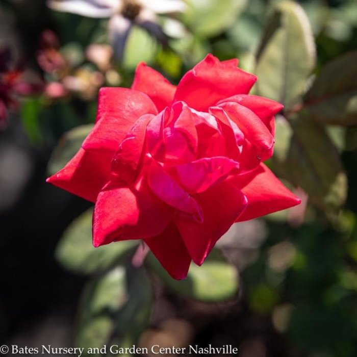 #3 Rosa Knock Out Double Red/Shrub Rose NO WARRANTY