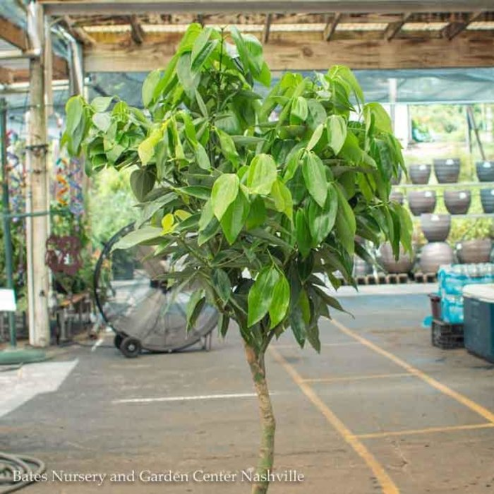 14p! Canela / Cinnamon Plant /Tropical