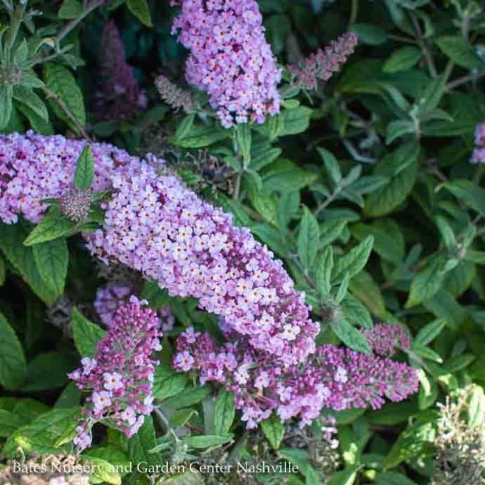 #2s Buddleia Pugster Periwinkle/Dwarf Butterfly Bush