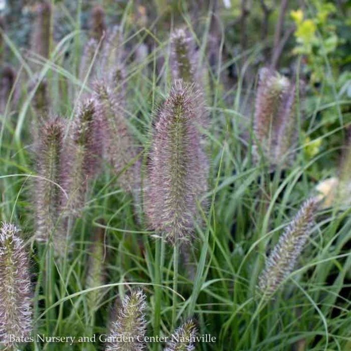 #2 Grass Pennisetum alop Ginger Love/Fountain Compact