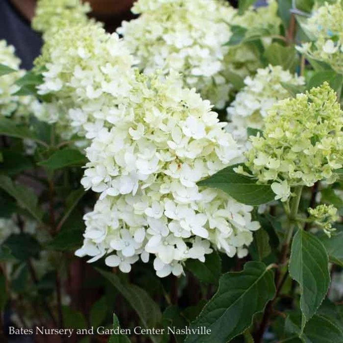 #2 Hydrangea pan Candy Apple/Panicle White-green