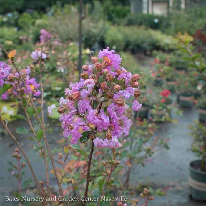 #5 Lagerstroemia Petite Orchid/Crape Myrtle Dwarf Magenta-purple