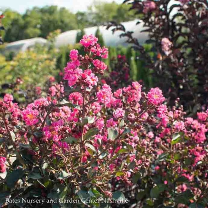 #5 Lagerstroemia Whit III/Pink Velour Crape Myrtle Semi-dwarf Hot-pink