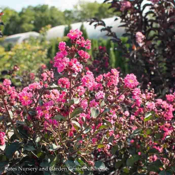 #5 Lagerstroemia Whit III/Pink Velour Crape Myrtle Semi-dwarf Hot-pink