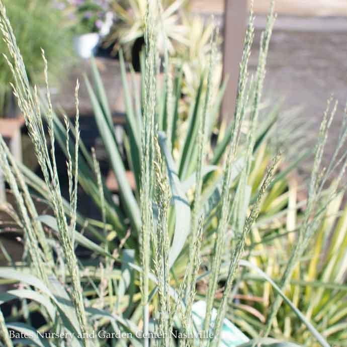 #1 Grass Panicum virg Gunsmoke/Switch