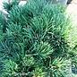 #2 Pinus mugo Pumilio Littlerick/Dwarf Mugo Pine