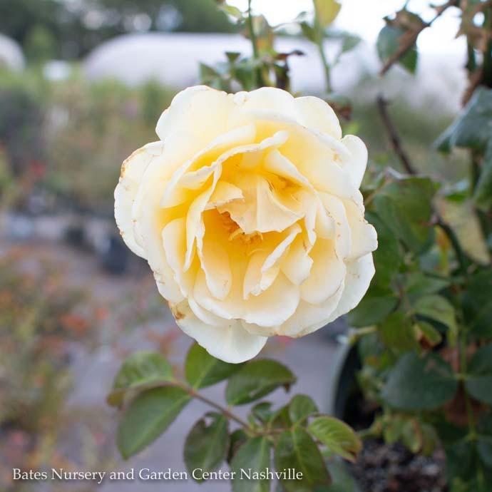 #3 Rosa Smiley Face/Climbing Rose Yellow NO WARRANTY