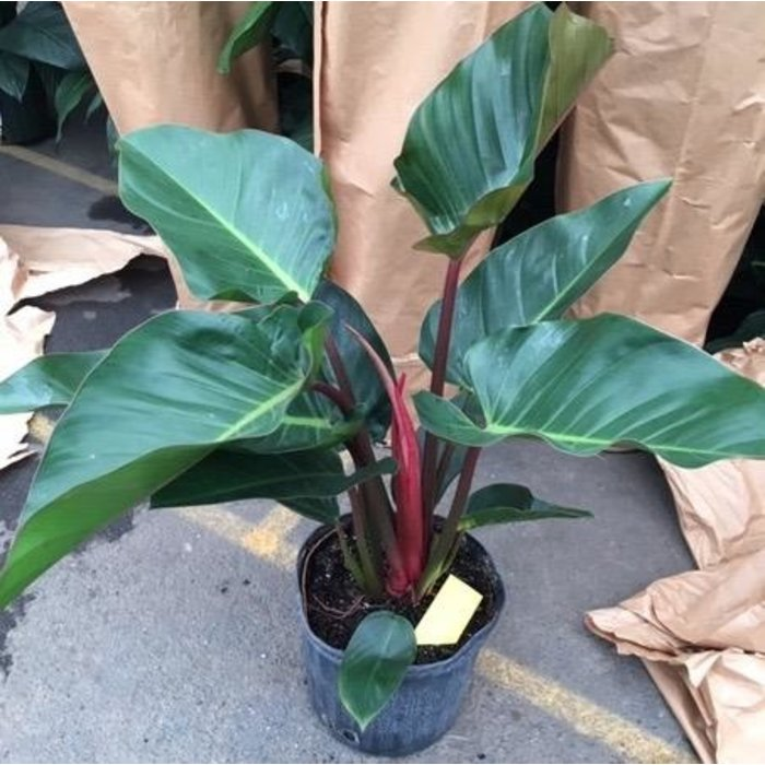 10p! Philodendron Red Congo /Tropical