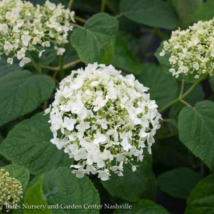#3 Hydrangea arb Incrediball/Smooth White (Annabelle Type)
