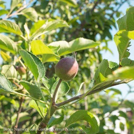 Edible #10 Malus Golden/Yellow Delicious/Apple Semi-dwarf MidSeason