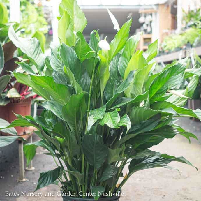 10p! Spathiphyllum Sensation / Peace Lily /Tropical