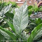 6p! Spathiphyllum Domino / Variegated Peace Lily /Tropical