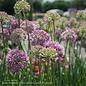 #1 Allium Medusa/Ornamental Onion
