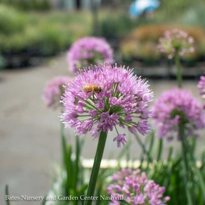 #1 Allium Millenium/Flowering Onion