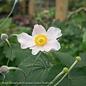 #1 Anemone robustissima/Windflower