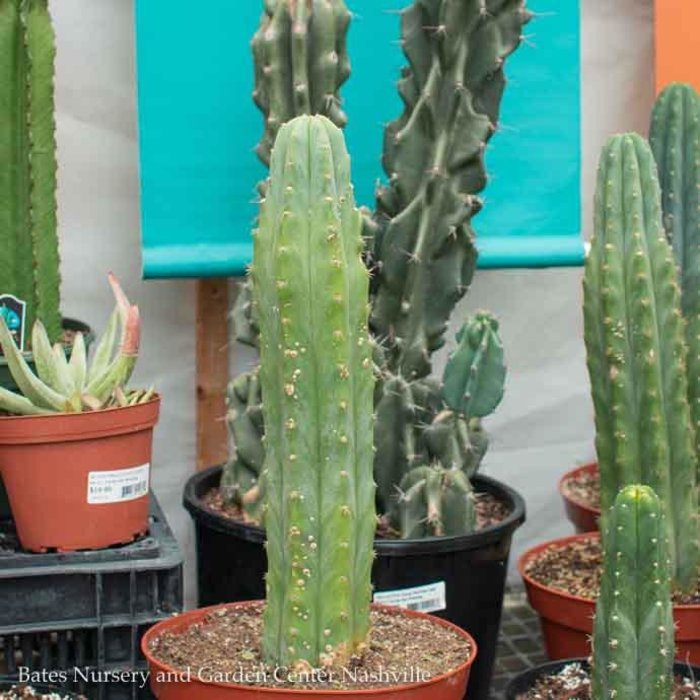 10p! Cactus San Pedro /Tropical