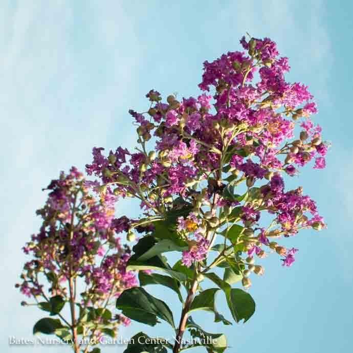 #15 Lagerstroemia Autauga/Purple Crape Myrtle
