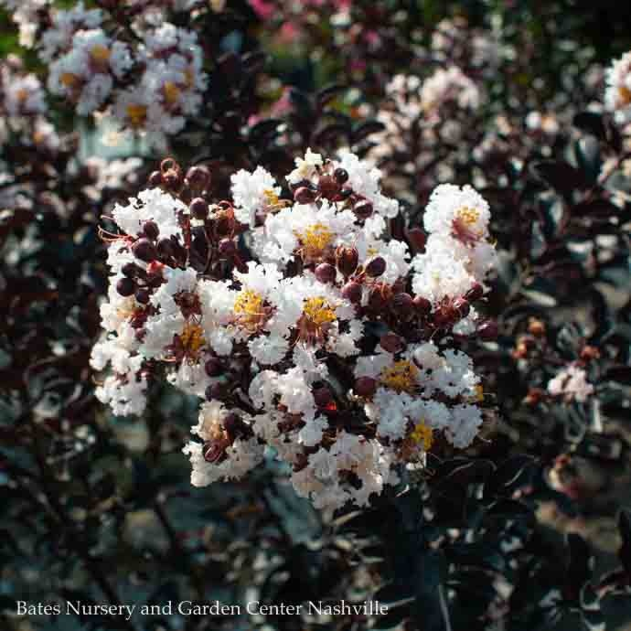 #7 Lagerstroemia Ebony Glow/Crape Myrtle Semi-dwarf Blush-pink