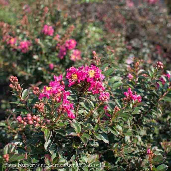 #3 Lagerstroemia x Pocomoke/Crape Myrtle Dwarf Dark Rosy Pink