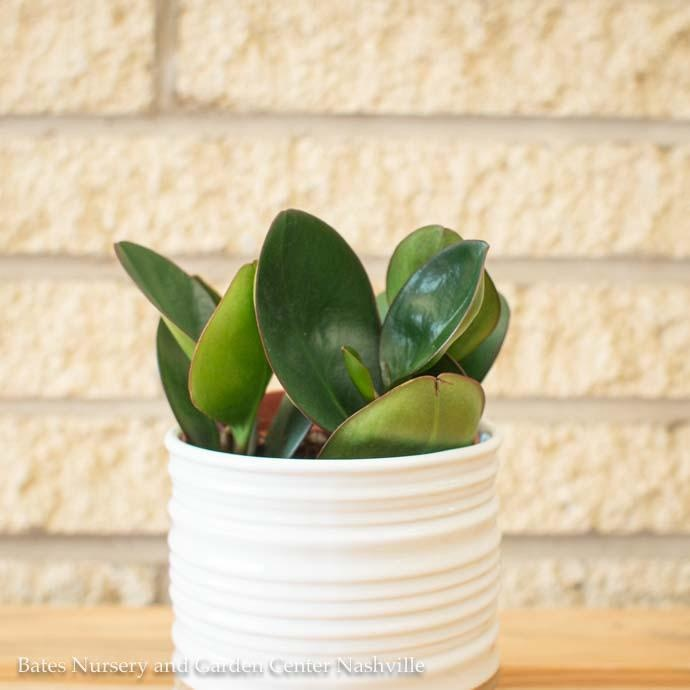 4p! Peperomia Red Edged /Tropical