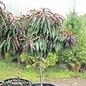 #10 PT Prunus persica 'Bonfire'/Patio Peach