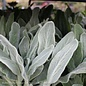 #1 Stachys Silver Carpet/Lamb's Ear