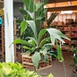 6hb! Fern - Staghorn Fern in Wood Box /Tropical