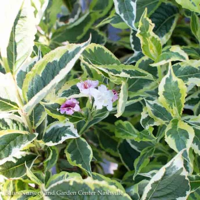 #2 Weigela Mor-Colourful/Variegated