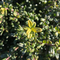 #3 Ilex cre Compacta/Japanese Holly (female)