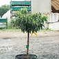 #10 Patio Tree Cornus kousa Little Poncho/Dogwood Dwarf White