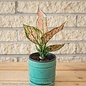 4p! Aglaonema Roxy Pink / Chinese Evergreen /Tropical