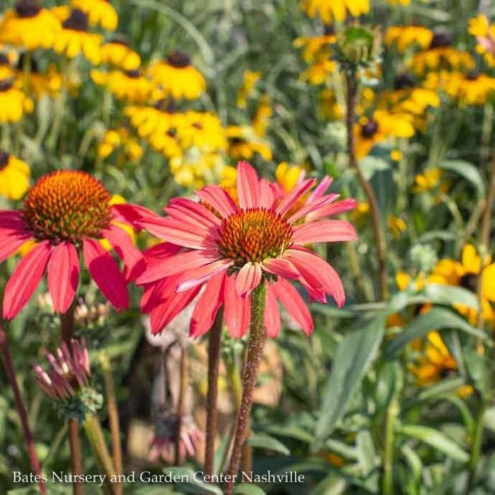 #1 Echinacea Glowing Dream/Coneflower