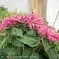 #1 Monarda Bee You Bee Merry/Bee Balm Pink