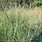 #1 Grass Panicum virg Summer Sunrise/ Switch