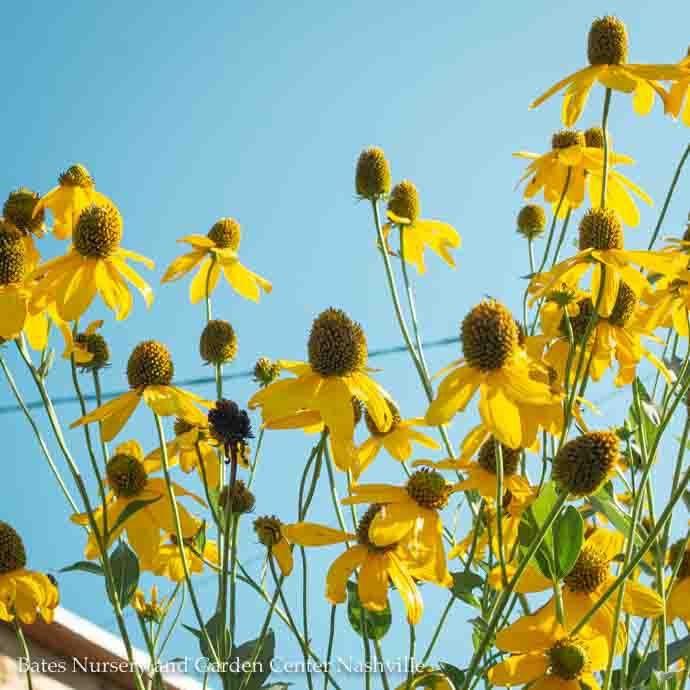 #1 Rudbeckia Autumn Sun (Herbstsonne)/Black-Eyed Susan