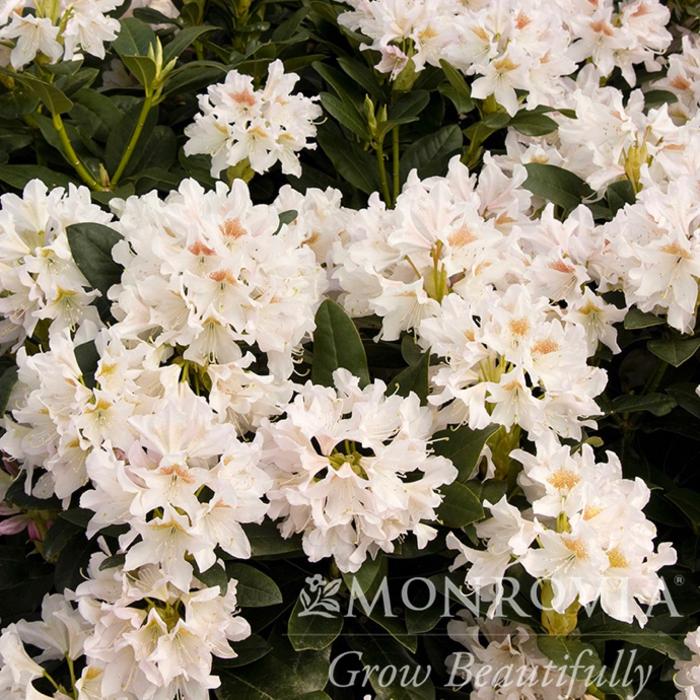 #5 Rhododendron x 'Cunningham's White' NO WARRANTY