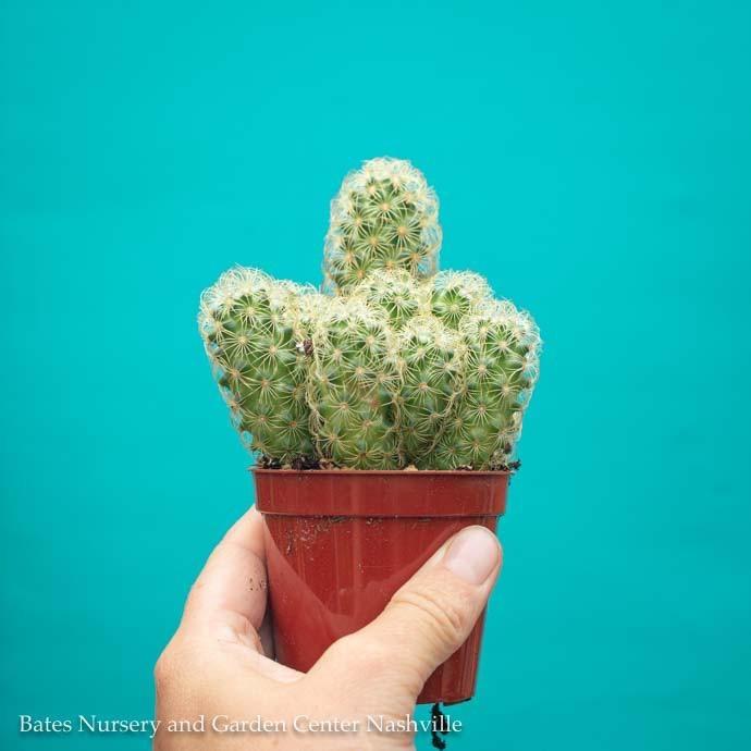 2.5p! Cactus Lady Fingers /Tropical