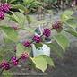 #3 Callicarpa americana/Beautyberry