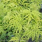 #3 Sambucus Lemony Lace/Elderberry