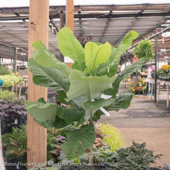 #3 Magnolia macrophylla/Bigleaf Deciduous