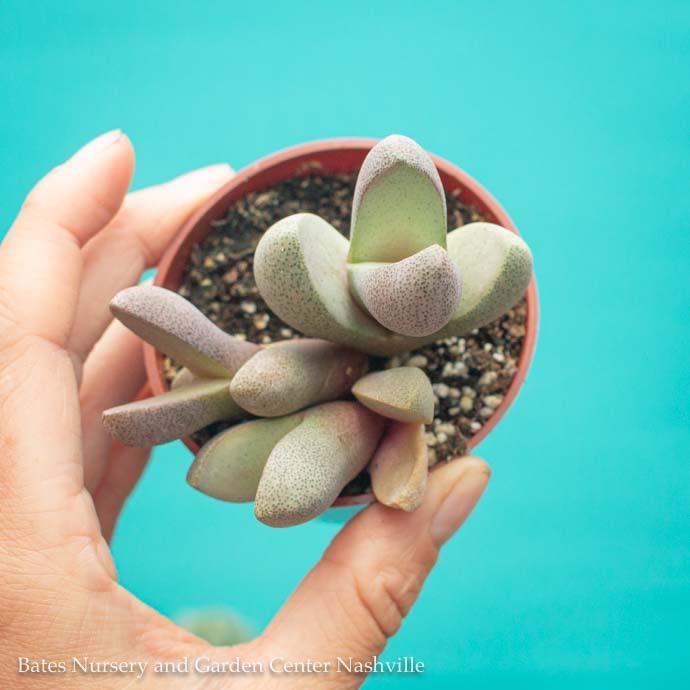 2.5p! Succulent Mimicry Asst /Tropical